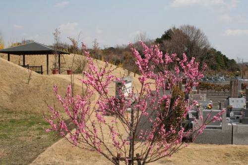 桜も楽しめます。