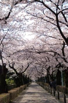 青山霊園の桜並木