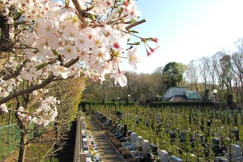 桜が美しく咲いています。