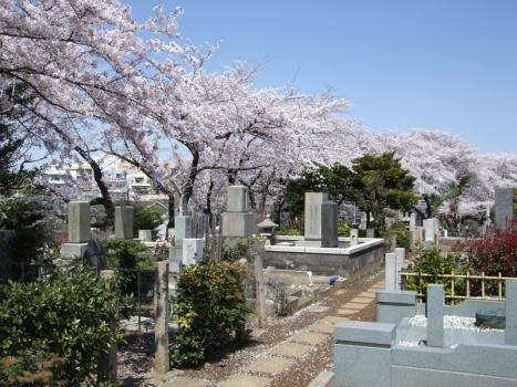 桜の季節の染井霊園