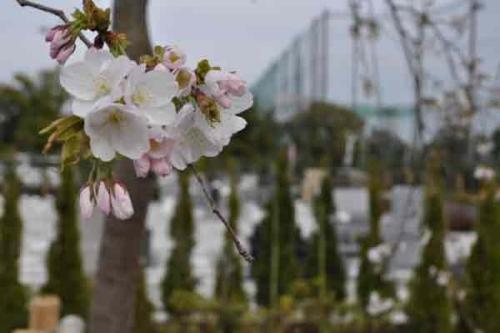 春は桜も見頃を迎えます。