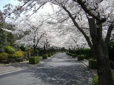 春を彩る桜並木。